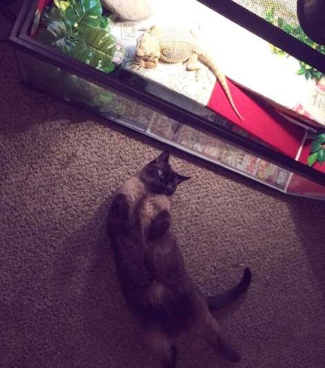 横になるトカゲと猫