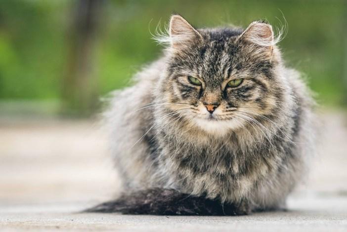 かっこいい猫