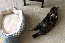 意地でもベッドで寝ない猫
