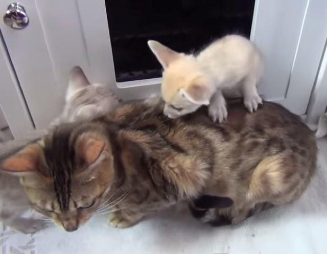 仲良し猫とフェネック親子