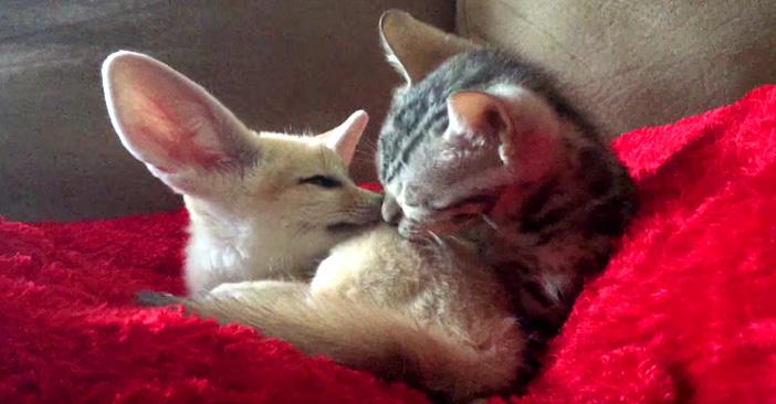 仲良しなフェネックと子猫