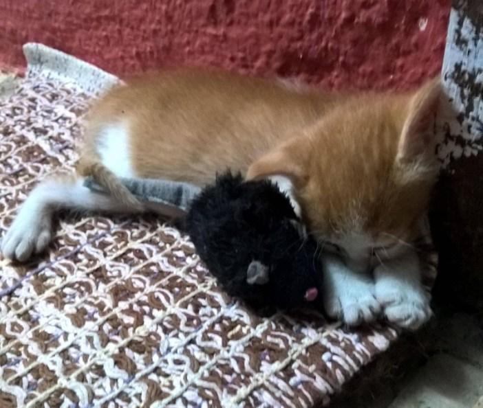 遊び疲れて寝ている子猫
