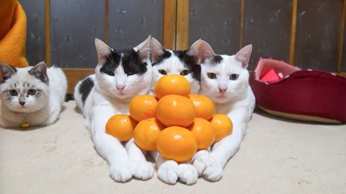 みかんピラミッド猫