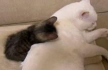 兄猫と遊びたい子猫
