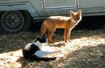 猫とキツネ