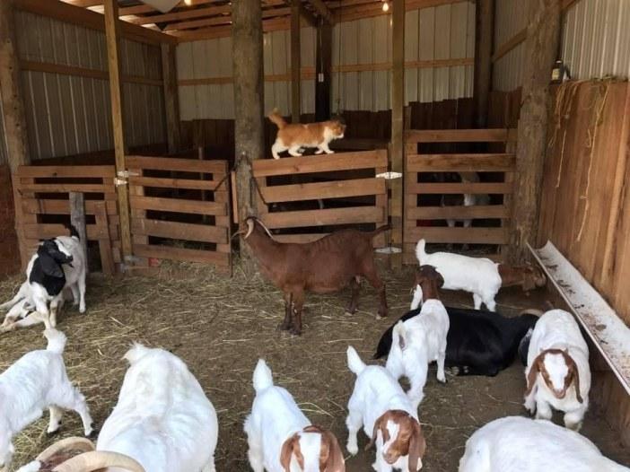 ヤギの家族と猫