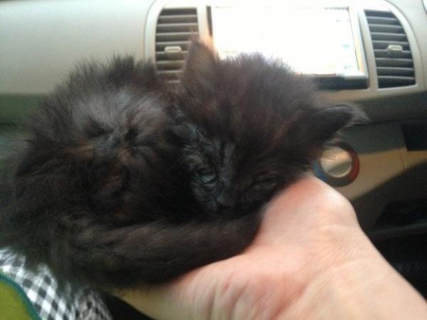 手にのる子猫
