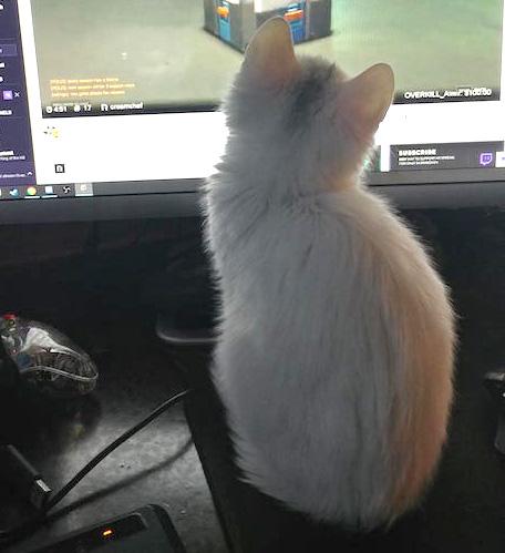 パソコンを見る子猫