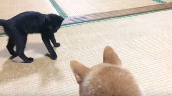 柴犬に迫る子猫