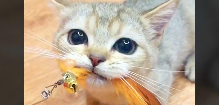 羽のオモチャを咥える子猫