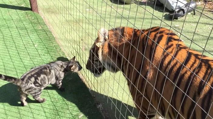 仲良しな猫とトラ