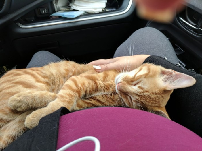 車の中で寝始めた猫