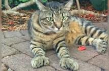 指の多いヘミングウェイ猫
