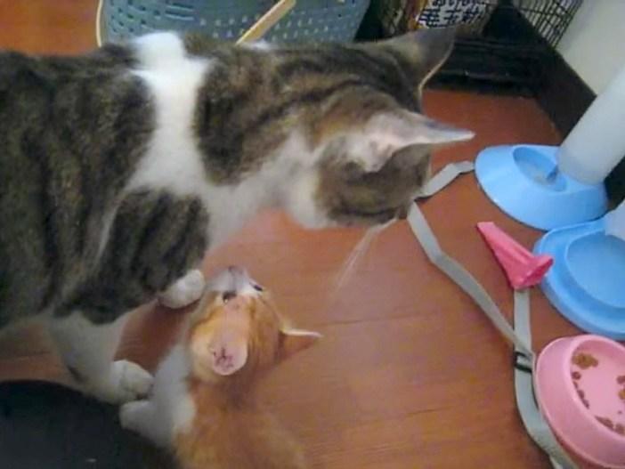 他の猫と一緒の子猫