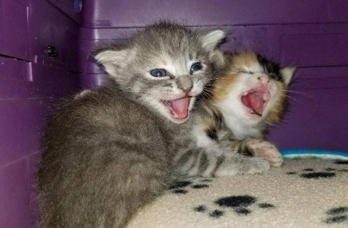 あくび子猫
