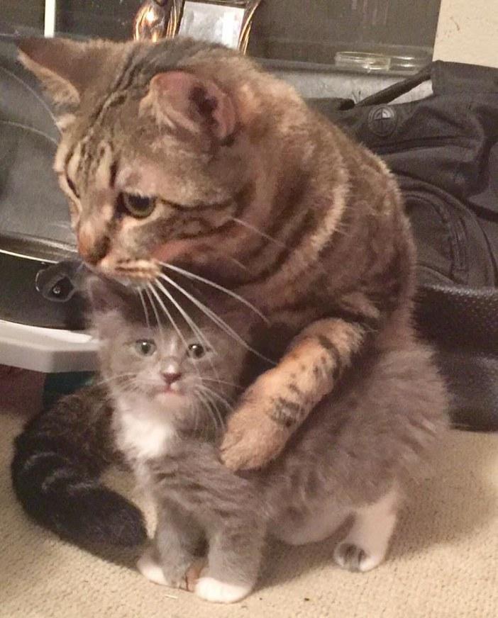 子猫をギュッとする猫
