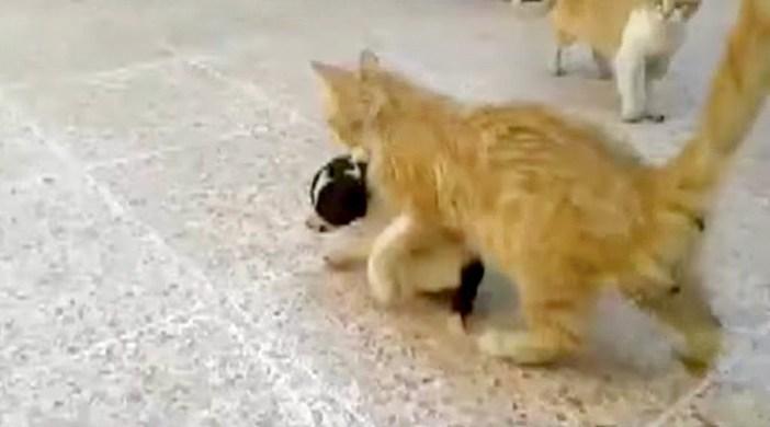 子犬を運ぶ猫