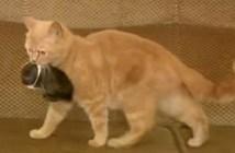 子ウサギを運ぶ母猫