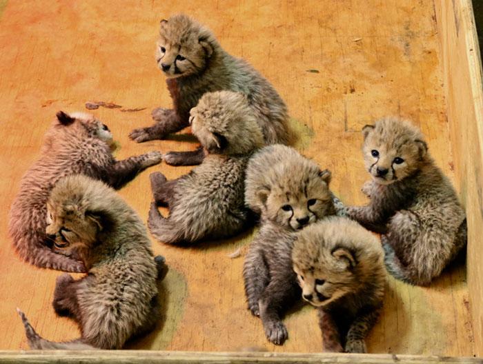 可愛いチーターの赤ちゃん達
