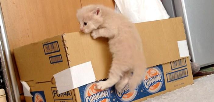 ダンボール箱を登る子猫