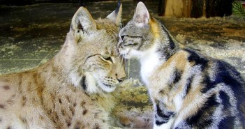 猫とオオヤマネコ