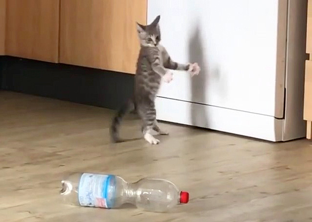 ペットボトルに驚く子猫