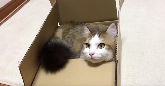 箱好きの猫