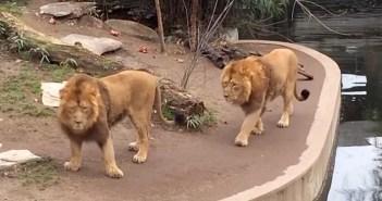 水辺を歩くライオン