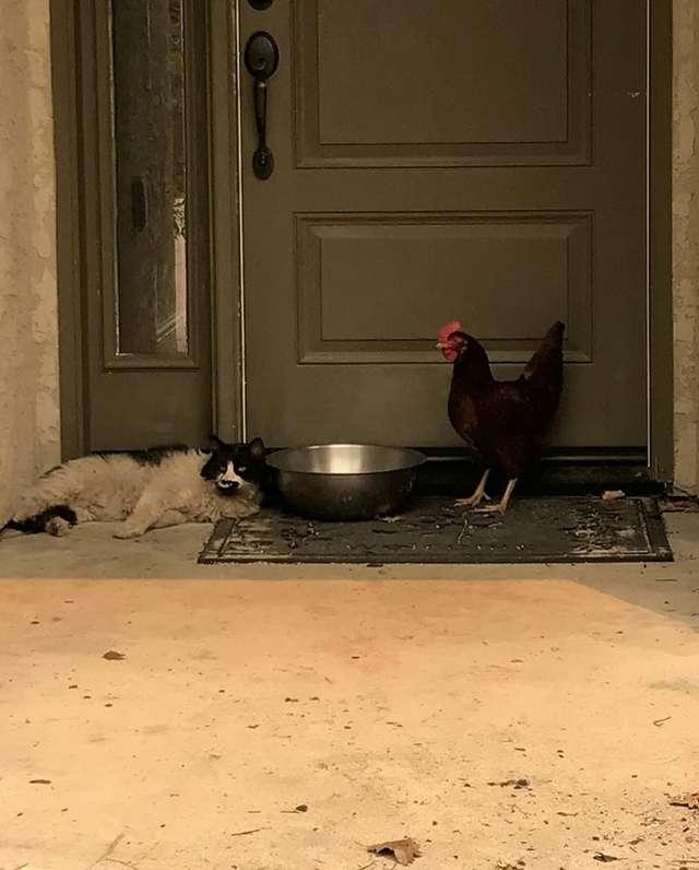 ニワトリと猫