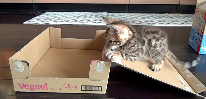 ダンボール箱に興味津々の子猫。元気いっぱいに遊んでいると、自動収納されちゃった ( *´艸`)♡