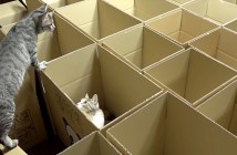 ダンボール箱に興味津々の猫