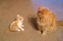 大人猫に挑む子猫