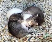 「ボク達が必ず守るからね」震える妹猫を包み込んでいた2匹の兄猫。安全な家に保護された後も、妹のことを守り続ける