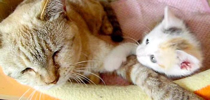 大人猫をポムポムする子猫