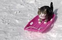 ソリで滑る猫