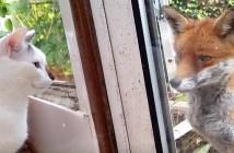 野生のキツネと猫