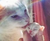 生後間もない子猫に出会い、お父さん代わりになった猫。驚くほどの愛情で子猫の運命を大きく変える