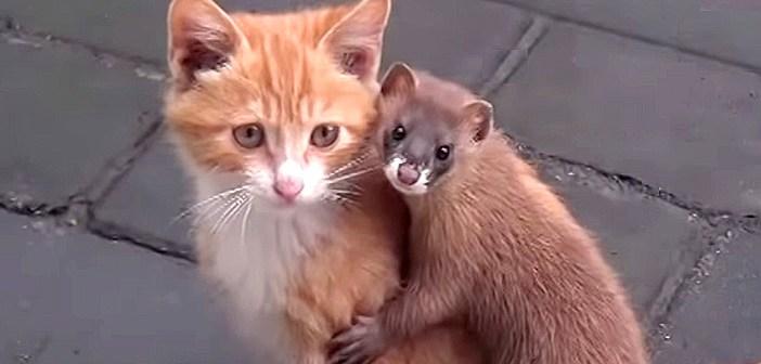 子猫好きのイタチ