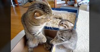父猫に叱られた子猫