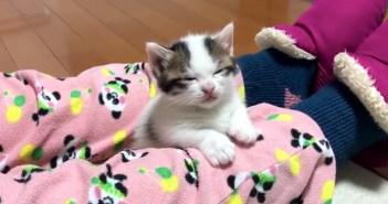 膝の上に幸せを感じて、強い眠気に襲われた子猫。まるで電池切れしたかのように寝落ちする姿が可愛すぎる ( *´艸`)♡