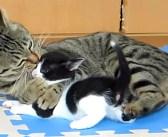 """孫猫が可愛すぎてしょうがない! おばあちゃん猫の """"愛情表現"""" が凄かった (*゚0゚)!"""