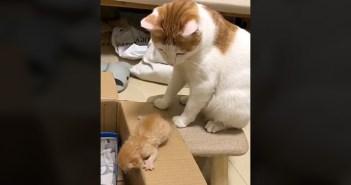 箱の中に入りたいけど、なかなか一歩が踏み出せない子猫。その様子をジッと見ていた母猫が驚きの行動に出た ( ゚Д゚)!