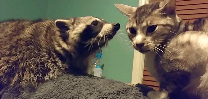 猫と遊びたいアライグマ