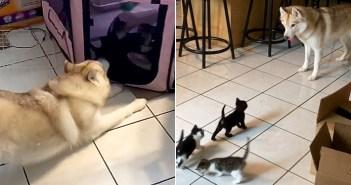 子猫好きのハスキー犬
