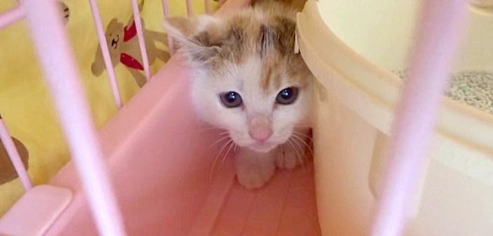 「シャー!」と威嚇する保護1日目の子猫。保護主さんが色々な方法で落ち着かせると、愛らしい姿を見せてくれるように♪