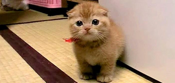 たわし子猫