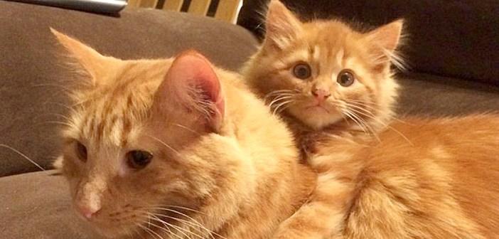 納屋の中で愛猫そっくりの迷子の子猫を発見! 2匹を引き合わせてみると、驚くほどの仲良しに!