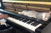 ピアノで寝る猫