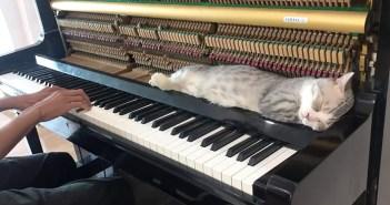 ピアノの音と共に成長してきた猫さん。至近距離からのピアノの音にも動じることなく、幸せ顔で眠り続ける姿が可愛い♪