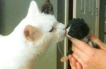 子猫達のお父さんになった猫